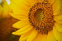 Charmed Sunflower
