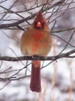 Beautiful Female Cardinal