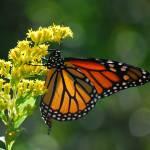 """Monarch Beauty"" by CynthiaHickman"