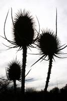 Teasel Silhouette