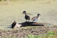 Immature Wood ducks