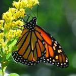 """Monarch Butterfly"" by CynthiaHickman"