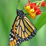 """Monarch & Milkweed No3"" by evansonart"
