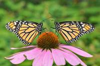 Monarch Butterfly Best Friends