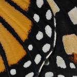"""Monarch Butterfly Wing Abstract No2"" by evansonart"