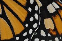 Monarch Butterfly Wing Abstract No2