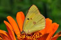 Common Sulphur Butterfly & Zinnia