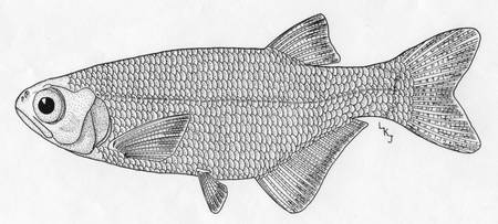 Goldeye fish
