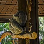 """""""Sleeping Koala"""" by lonewolf565"""