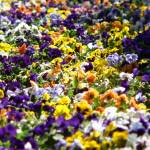 """A sea of pansies"" by marklorch"