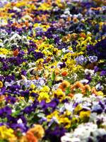 A sea of pansies