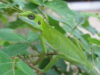 Green Crested Lizard 3