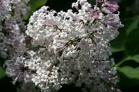 63 - Outside Butterfly Conservatory, white lilacs