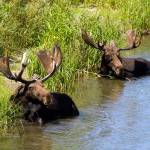 """Moose Resting in the Snake River"" by PhilStone"