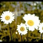 """Daisies"" by stepheniedagata"