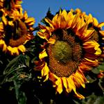 """Sunflower"" by stepheniedagata"