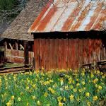 """""""Scenic Daffodil Hill"""" by stepheniedagata"""