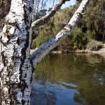 """White Birch"" by stepheniedagata"
