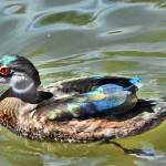 """wood duck"" by Jewelymosier"