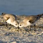 """Sanderling Pair"" by PhilStone"