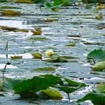 """""""Lotus Flower"""" by julieandel"""
