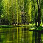 """Weeping Willow Tree Ribbons"" by PhotographsByCarolFAustin"