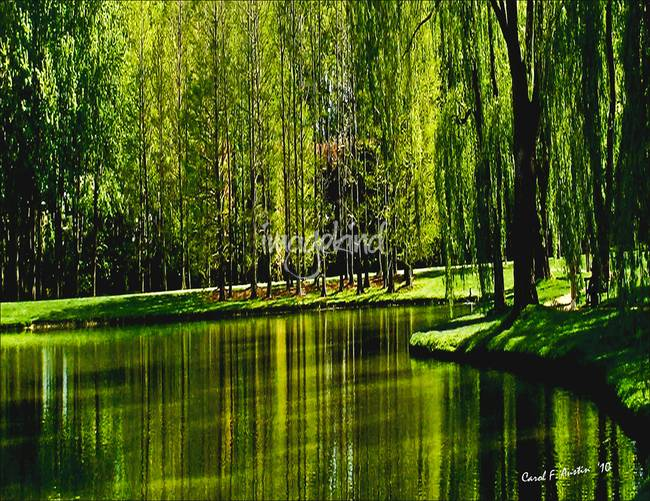 weeping willow tree ribbons by carol f austin, Natural flower