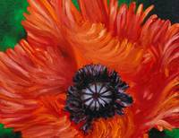 Red Turkenlouis Oriental Poppy
