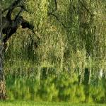 """""""Weeping Willow Tree and Pond"""" by PhotographsByCarolFAustin"""