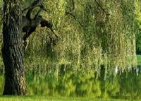 Weeping Willow Tree and Pond Meditation Wall Art