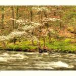"""Little River Dogwood"" by Tanasi"
