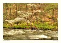 Little River Dogwood
