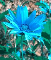 Wild Blue Sunflower