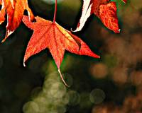 Fall Sweetgum Leaf