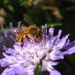 """""""Honey Bee"""" by andrewclassen"""