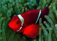 Red Anemonefish