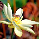 """American Lotus and Friend"" by praslicka"