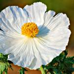 """Prickly Poppy"" by praslicka"