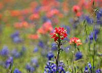 Indian Paintbrush and Bluebonnets