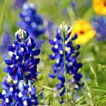 """Texas Bluebonnets"" by praslicka"