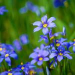 """Blue-Eyed Grass"" by praslicka"