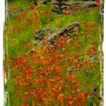 """Indian Paintbrush and fence IndependancePainting E"" by JeanMegahan"