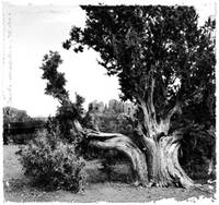 Juniper Tree and CAstle Rock