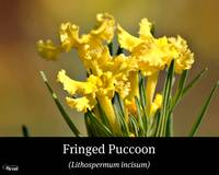 Fringed Puccon