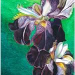 """""""Velvet Irises"""" by florist59"""