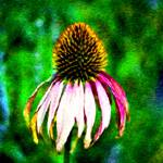 """Purple Coneflower"" by JeanMegahan"