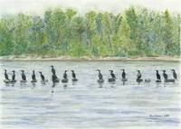Cormorants at Kelley Point