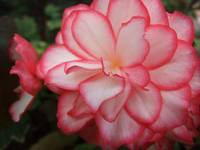 Pink and White Begonia