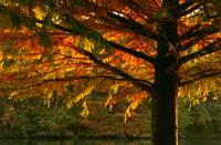 Bald Cypress in Fall Color