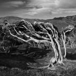 """Gnarly Tree"" by ChrisWhitePhotography"